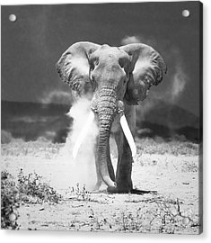 Old Elephant At Amboseli National Park Kenya Acrylic Print by Konstantin Kalishko