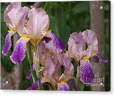Old-fashioned Iris Acrylic Print