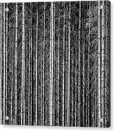 Old Forrest Acrylic Print by Kristian Westgård