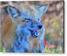 Acrylic Print featuring the photograph Old Fox by Debbie Stahre