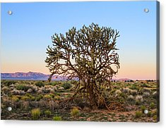 Old Growth Cholla Cactus View 2 Acrylic Print