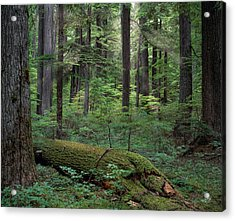 Old Growth Forest Acrylic Print by Leland D Howard