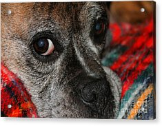Acrylic Print featuring the photograph Old Man Boxer by Debbie Stahre