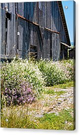 Old Milking Barn Acrylic Print