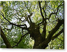 Old Oak Tree Acrylic Print