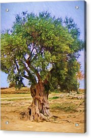 Old Olive Tree Acrylic Print