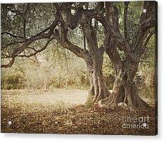 Old Olive Tree Acrylic Print by Mythja  Photography
