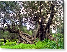 Old Olive Trees Acrylic Print