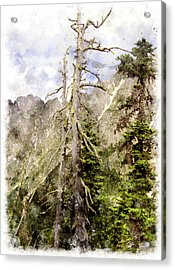 Old Pines Cascades Wc Acrylic Print by Peter J Sucy