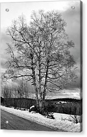 Old White Birch Acrylic Print