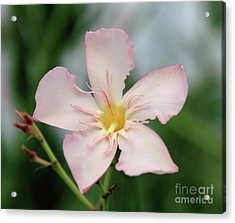 Oleander Agnes Campbell  Acrylic Print