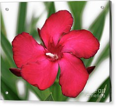 Oleander Blood-red Velvet 1 Acrylic Print