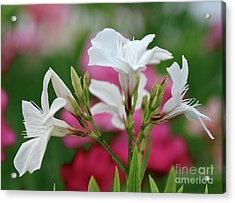 Acrylic Print featuring the photograph Oleander Casablanca 1 by Wilhelm Hufnagl