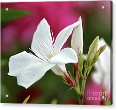 Acrylic Print featuring the photograph Oleander Casablanca 2 by Wilhelm Hufnagl