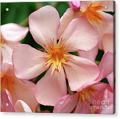 Acrylic Print featuring the photograph Oleander Dr. Ragioneri 1 by Wilhelm Hufnagl
