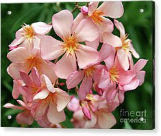 Acrylic Print featuring the photograph Oleander Dr. Ragioneri 3 by Wilhelm Hufnagl