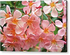 Acrylic Print featuring the photograph Oleander Dr. Ragioneri 5 by Wilhelm Hufnagl
