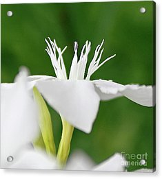 Acrylic Print featuring the photograph Oleander Ed Barr 2 by Wilhelm Hufnagl