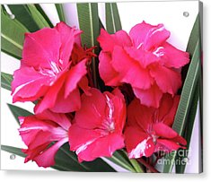 Acrylic Print featuring the photograph Oleander Geant Des Batailles 1 by Wilhelm Hufnagl