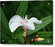 Oleander Harriet Newding  1 Acrylic Print