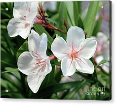 Oleander Harriet Newding 3 Acrylic Print