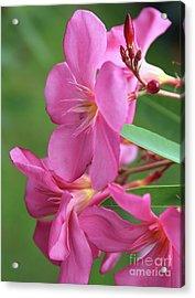 Oleander Maresciallo Graziani 2 Acrylic Print