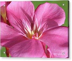 Oleander Maresciallo Graziani 3 Acrylic Print