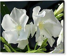Oleander Mont Blanc 1 Acrylic Print