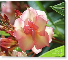 Acrylic Print featuring the photograph Oleander Mrs. Roeding 1 by Wilhelm Hufnagl