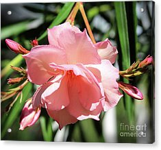 Oleander Mrs. Roeding 3 Acrylic Print