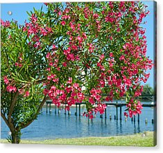 Oleander On Melbourne Harbor In Florida Acrylic Print by Allan  Hughes