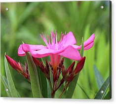 Acrylic Print featuring the photograph Oleander Professor Parlatore 1 by Wilhelm Hufnagl