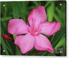 Oleander Professor Parlatore 2 Acrylic Print
