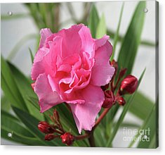 Acrylic Print featuring the photograph Oleander Splendens Giganteum 1 by Wilhelm Hufnagl