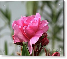 Acrylic Print featuring the photograph Oleander Splendens Giganteum 2 by Wilhelm Hufnagl
