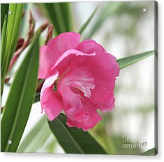 Acrylic Print featuring the photograph Oleander Splendens Giganteum 3 by Wilhelm Hufnagl