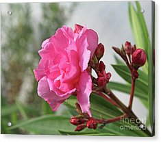 Acrylic Print featuring the photograph Oleander Splendens Giganteum 4 by Wilhelm Hufnagl