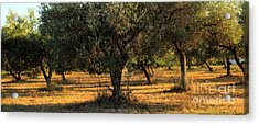 Olive Grove 3 Acrylic Print