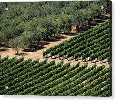 Olive Grove Meets Vineyard Acrylic Print