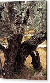 Olive Tree In The Garden Of Gethsemane Acrylic Print by Thomas R Fletcher