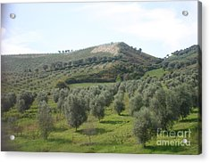 Olive Trees Acrylic Print by Dennis Curry
