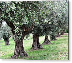 Olive Trees In Umbria Acrylic Print by Marion McCristall
