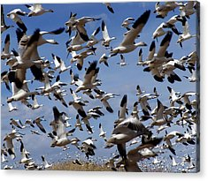 On A Mission Bosque Del Apache Acrylic Print by Kurt Van Wagner