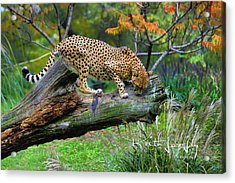 On The Prowl Acrylic Print by Keith Lovejoy