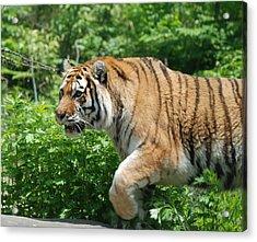 Acrylic Print featuring the photograph On The Prowl by Richard Bryce and Family