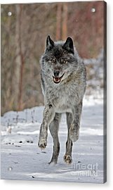 On The Run Acrylic Print