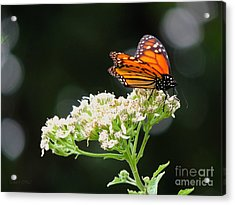 Once Upon A Butterfly 005 Acrylic Print by Robert ONeil