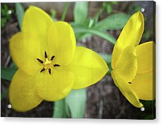 Acrylic Print featuring the photograph One And A Half Yellow Tulips by Michelle Calkins