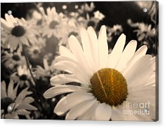 One Daisy Stands Out From The Bunch Acrylic Print
