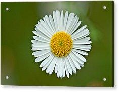 One Daisy Acrylic Print by Svetlana Ledneva-Schukina